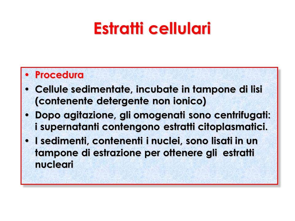 Estratti cellulari Procedura Procedura Cellule sedimentate, incubate in tampone di lisi (contenente detergente non ionico) Cellule sedimentate, incuba