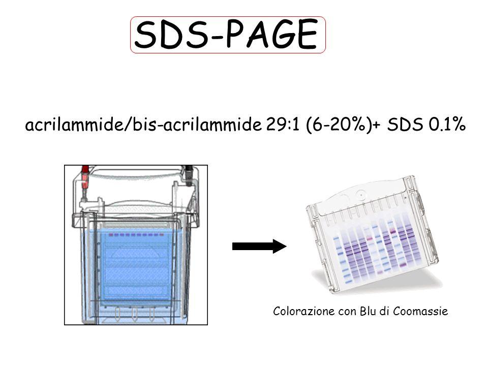SDS-PAGE Colorazione con Blu di Coomassie acrilammide/bis-acrilammide 29:1 (6-20%)+ SDS 0.1%