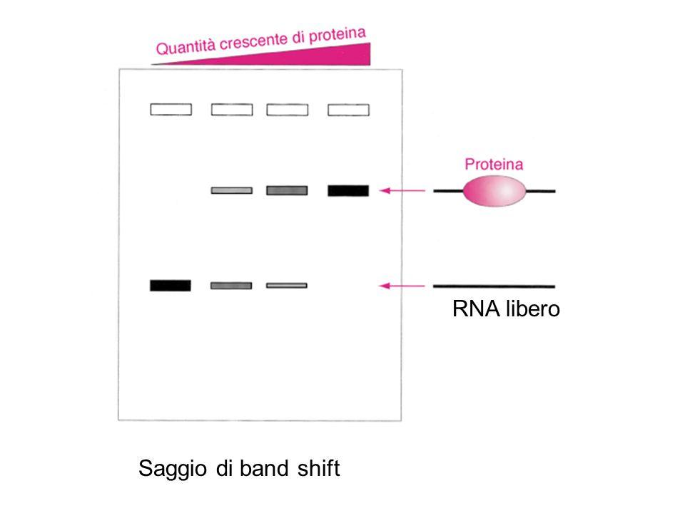 Saggio di band shift RNA libero