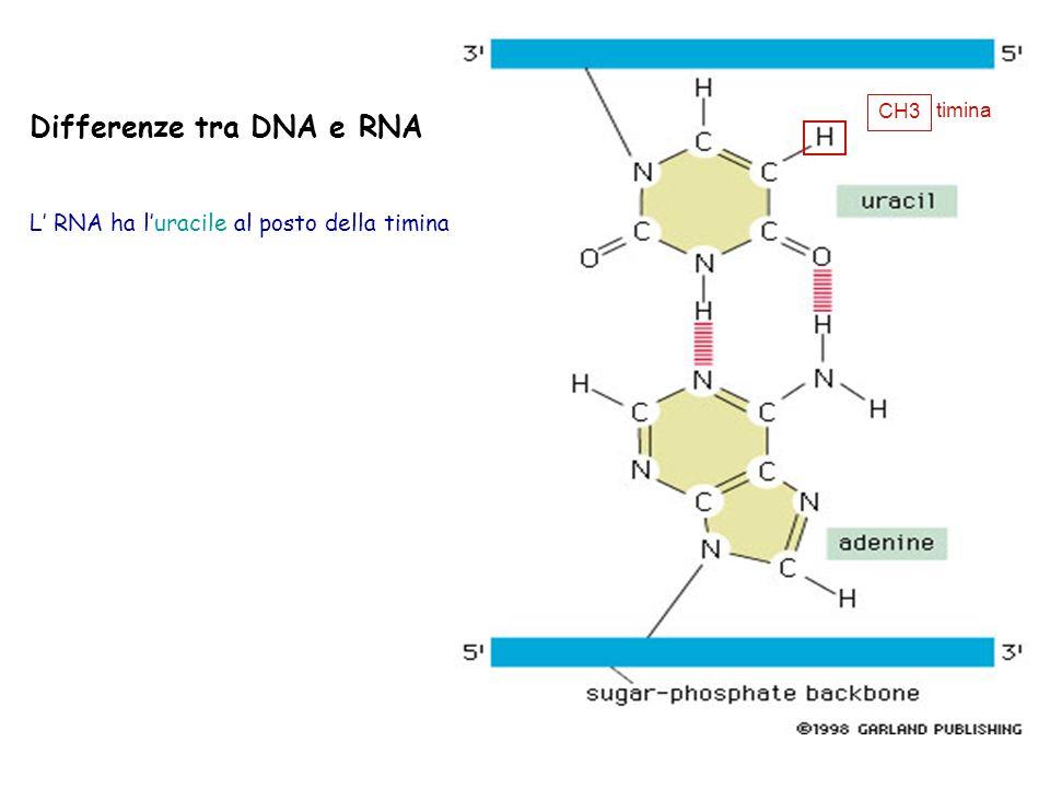Differenze tra DNA e RNA L RNA ha luracile al posto della timina CH3 timina