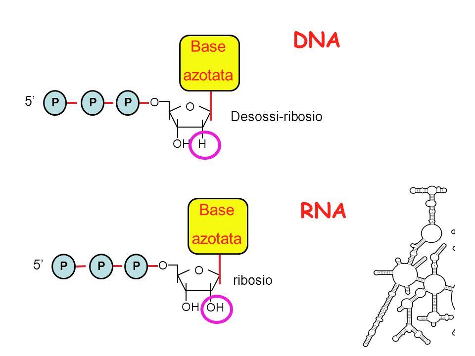 Trascrizione in vitro dellRNA Procedura Procedura -Clonare il DNA stampo in un vettore contenente un promotore per le RNA polimerasi fagiche (T7 o SP6) -Linearizzare il DNA stampo con enzimi di restrizione (*) -Incubare in provetta DNA, ribonucleotidi trifosfato e RNA polimerasi -Lasciare procedere la reazione per 1-2h a 37°C -estrarre lRNA Procedura Procedura -Clonare il DNA stampo in un vettore contenente un promotore per le RNA polimerasi fagiche (T7 o SP6) -Linearizzare il DNA stampo con enzimi di restrizione (*) -Incubare in provetta DNA, ribonucleotidi trifosfato e RNA polimerasi -Lasciare procedere la reazione per 1-2h a 37°C -estrarre lRNA T7 o SP6 promoter Sito di restrizione per * cDNA + RNA pol + NTPs + 32 P-UTP Trascrizione RNA radioattivo digestione linearizzazione