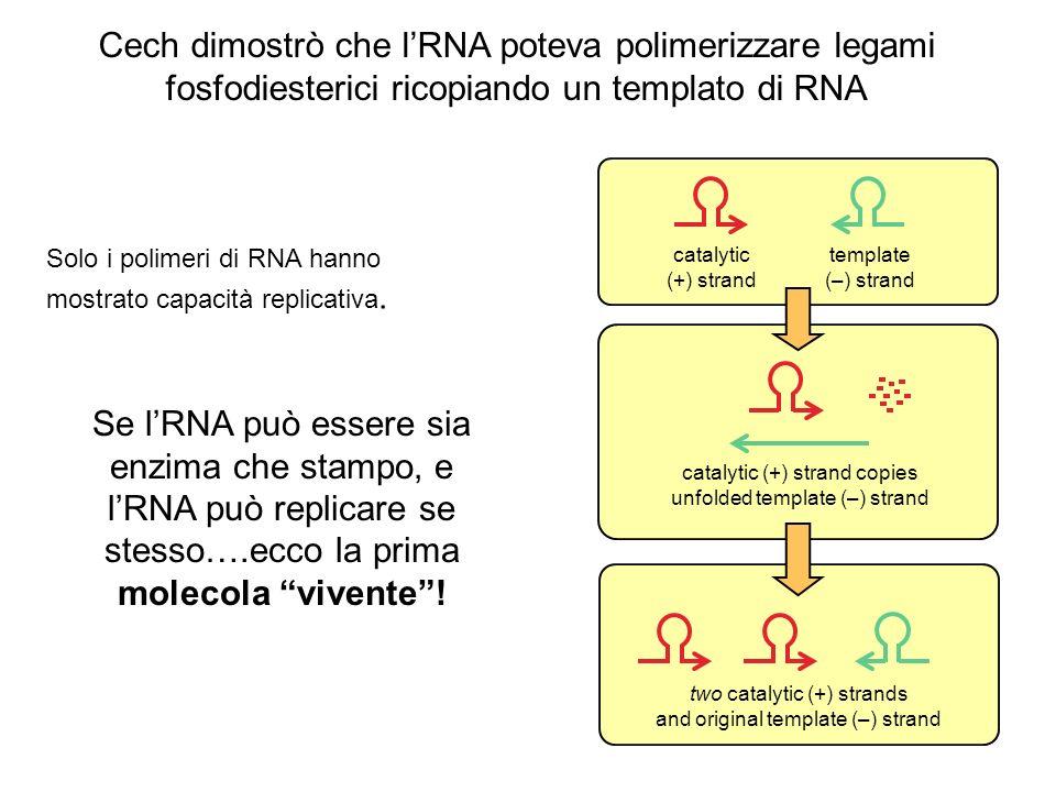 Solo i polimeri di RNA hanno mostrato capacità replicativa. catalytic (+) strand template (–) strand catalytic (+) strand copies unfolded template (–)