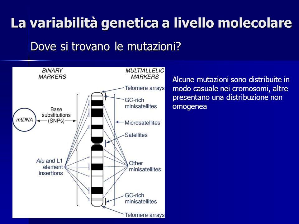 La variabilità genetica a livello molecolare Dove si trovano le mutazioni? Alcune mutazioni sono distribuite in modo casuale nei cromosomi, altre pres