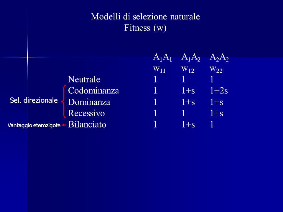 Modelli di selezione naturale Fitness (w) A 1 A 1 A 1 A 2 A 2 A 2 w 11 w 12 w 22 Neutrale111 Codominanza11+s1+2s Dominanza11+s1+s Recessivo111+s Bilanciato11+s1 Sel.