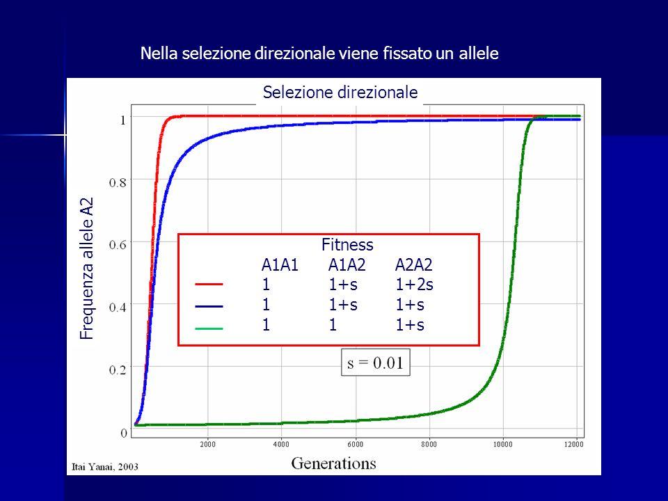 Selezione direzionale Fitness A1A1A1A2A2A2 11+s1+2s 11+s1+s 111+s Frequenza allele A2 Nella selezione direzionale viene fissato un allele