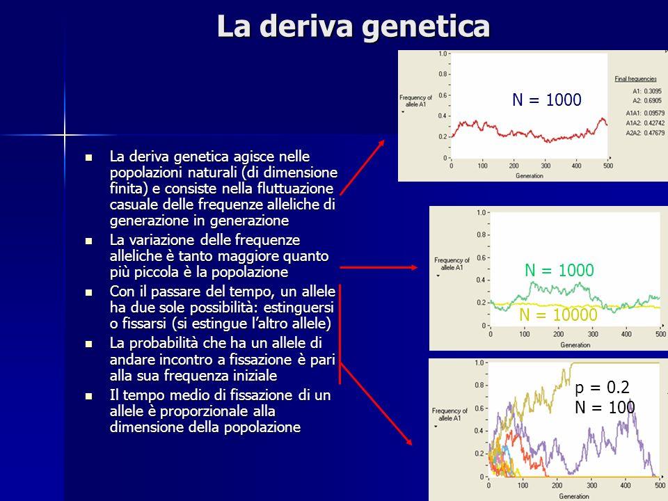 La deriva genetica La deriva genetica agisce nelle popolazioni naturali (di dimensione finita) e consiste nella fluttuazione casuale delle frequenze alleliche di generazione in generazione La deriva genetica agisce nelle popolazioni naturali (di dimensione finita) e consiste nella fluttuazione casuale delle frequenze alleliche di generazione in generazione La variazione delle frequenze alleliche è tanto maggiore quanto più piccola è la popolazione La variazione delle frequenze alleliche è tanto maggiore quanto più piccola è la popolazione Con il passare del tempo, un allele ha due sole possibilità: estinguersi o fissarsi (si estingue laltro allele) Con il passare del tempo, un allele ha due sole possibilità: estinguersi o fissarsi (si estingue laltro allele) La probabilità che ha un allele di andare incontro a fissazione è pari alla sua frequenza iniziale La probabilità che ha un allele di andare incontro a fissazione è pari alla sua frequenza iniziale Il tempo medio di fissazione di un allele è proporzionale alla dimensione della popolazione Il tempo medio di fissazione di un allele è proporzionale alla dimensione della popolazione N = 1000 N = 10000 p = 0.2 N = 100