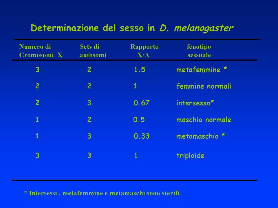 Determinazione del sesso in D. melanogaster Numero di Sets di Rapporto fenotipo Cromosomi X autosomi X/A sessuale 3 2 1.5 metafemmine * 2 2 1 femmine