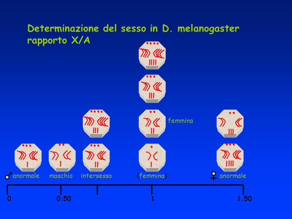 Determinazione del sesso in D. melanogaster rapporto X/A 0 0.50 1 1.50 femmina (femmina)intersessoanormale maschioanormale