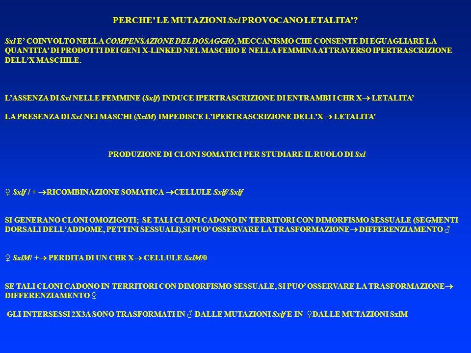 PERCHE LE MUTAZIONI Sxl PROVOCANO LETALITA? Sxl E COINVOLTO NELLA COMPENSAZIONE DEL DOSAGGIO, MECCANISMO CHE CONSENTE DI EGUAGLIARE LA QUANTITA DI PRO