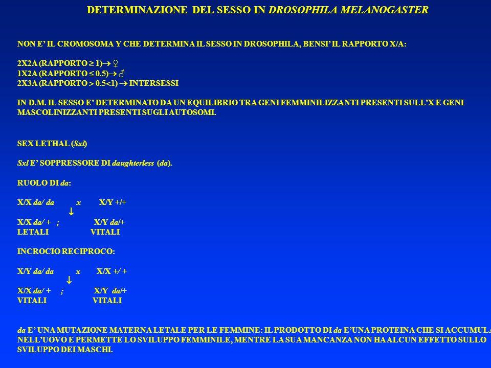 DETERMINAZIONE DEL SESSO IN DROSOPHILA MELANOGASTER NON E IL CROMOSOMA Y CHE DETERMINA IL SESSO IN DROSOPHILA, BENSI IL RAPPORTO X/A: 2X2A (RAPPORTO 1