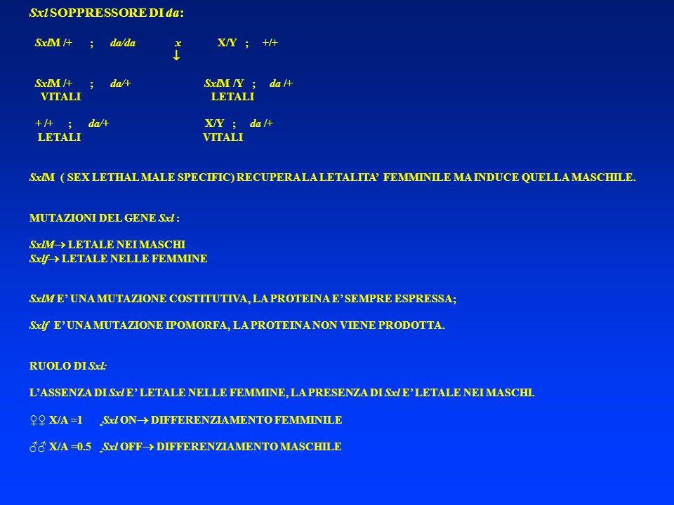 Sxl SOPPRESSORE DI da: SxlM /+ ; da/da x X/Y ; +/+ SxlM /+ ; da/+ SxlM /Y ; da /+ VITALI LETALI + /+ ; da/+ X/Y ; da /+ LETALI VITALI SxlM ( SEX LETHA