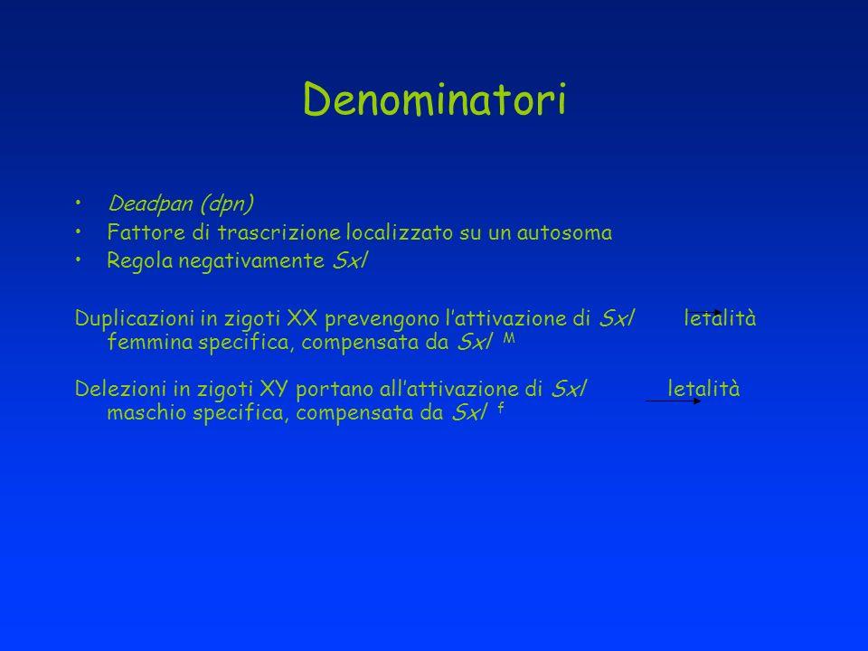 Denominatori Deadpan (dpn) Fattore di trascrizione localizzato su un autosoma Regola negativamente Sxl Duplicazioni in zigoti XX prevengono lattivazio