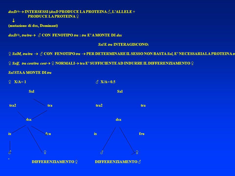 dsxD/+ INTERSESSI (dsxD PRODUCE LA PROTEINA, LALLELE + PRODUCE LA PROTEINA (mutazione di dsx, Dominant) dsxD/+, tra/tra CON FENOTIPO tra : tra E A MON