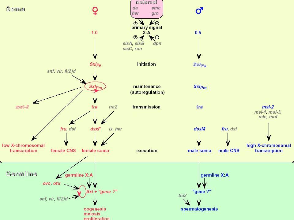 DIFFERENZE TRA DIVERSI ORGANISMI DROSOPHILA M: IL SESSO BASE IN D.M.