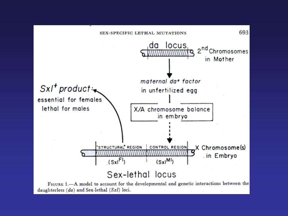 Soma Segnale primario Il primo segnale genetico per la determinazione del sesso è il rapporto X:A X:A = 1 femmina X:A = 0.5 maschio Avviene precocemente nellembriogenesi (preblastoderma, embrione 2-4 ore) ed in modo autonomo in ogni cellula (mosaici sessuali) Il target di questo segnale è il gene Sxl, attivo nelle femmine, ma non nei maschi