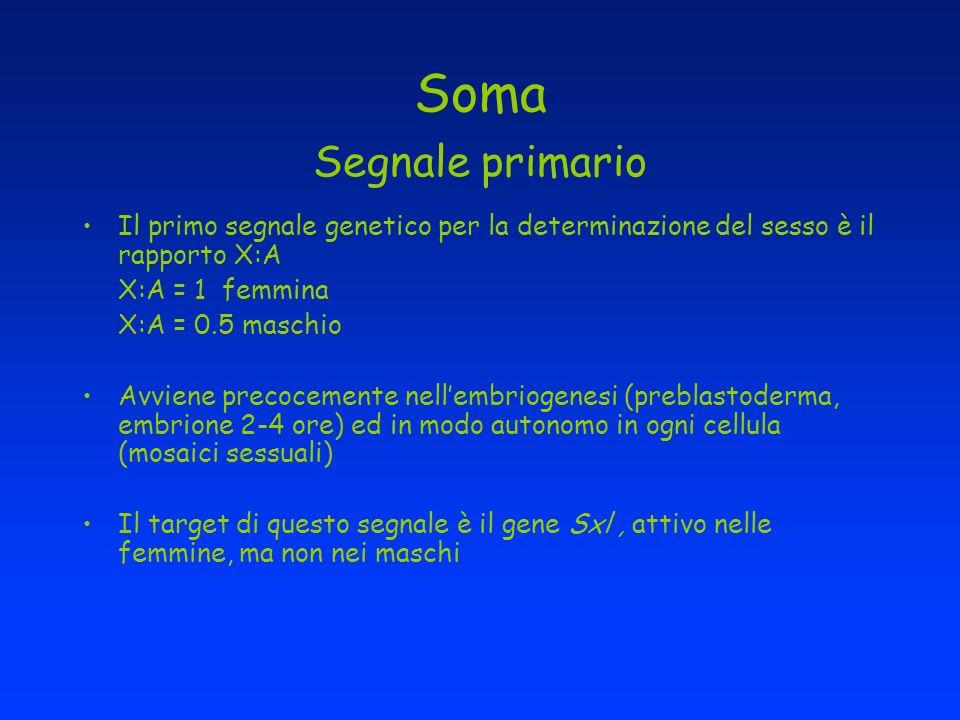 Soma Segnale primario Il primo segnale genetico per la determinazione del sesso è il rapporto X:A X:A = 1 femmina X:A = 0.5 maschio Avviene precocemen
