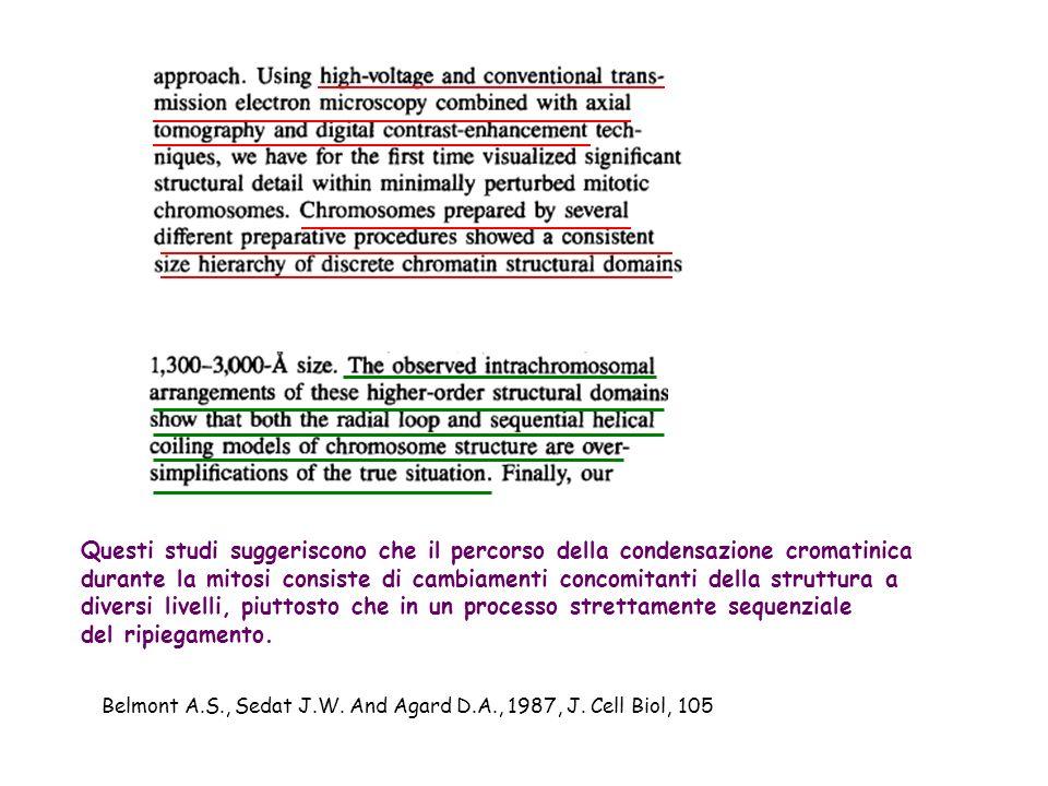Questi studi suggeriscono che il percorso della condensazione cromatinica durante la mitosi consiste di cambiamenti concomitanti della struttura a div