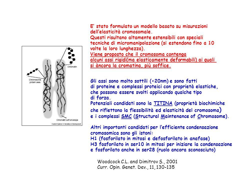 Si ipotizza lesistenza di un asse fisso a cui il DNA si attacca formando anse in maniera costitutiva.