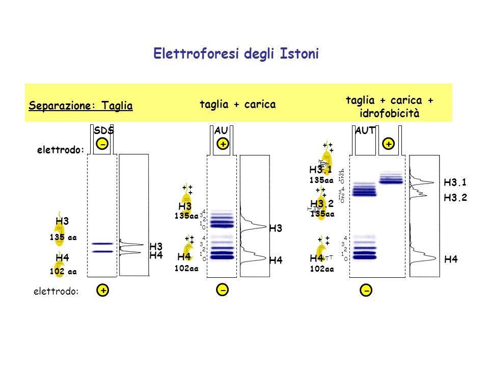 elettrodo: SDS H4 102 aa H3 135 aa H3 H4 + AUAUT H3 H4 H3.2 H4 H3.1 0 1 2 3 4 0 2 3 4 1 H4 102aa + + + + + + 135aa H3 0 2 3 4 1 - + + + T T T H4 102aa