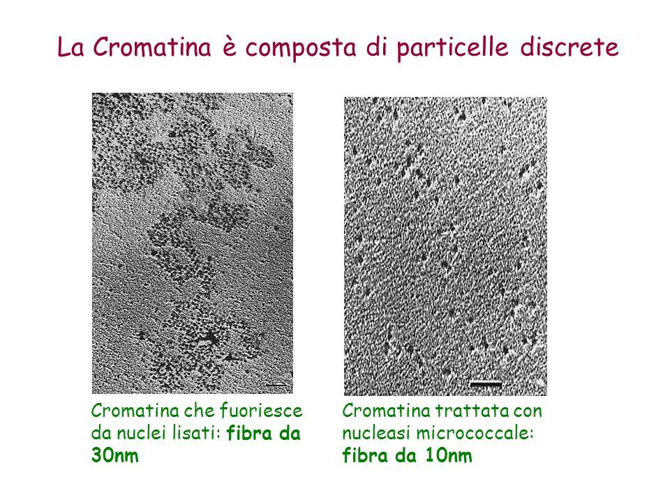 Cromatina che fuoriesce da nuclei lisati: fibra da 30nm Cromatina trattata con nucleasi micrococcale: fibra da 10nm La Cromatina è composta di partice