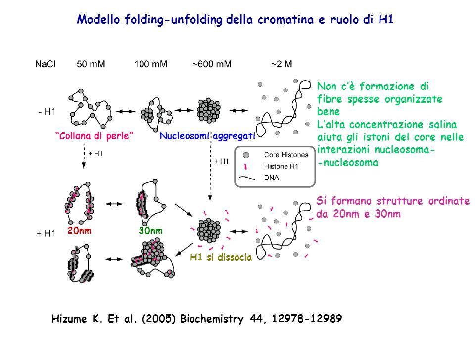 Collana di perleNucleosomi aggregati Modello folding-unfolding della cromatina e ruolo di H1 Non cè formazione di fibre spesse organizzate bene Lalta