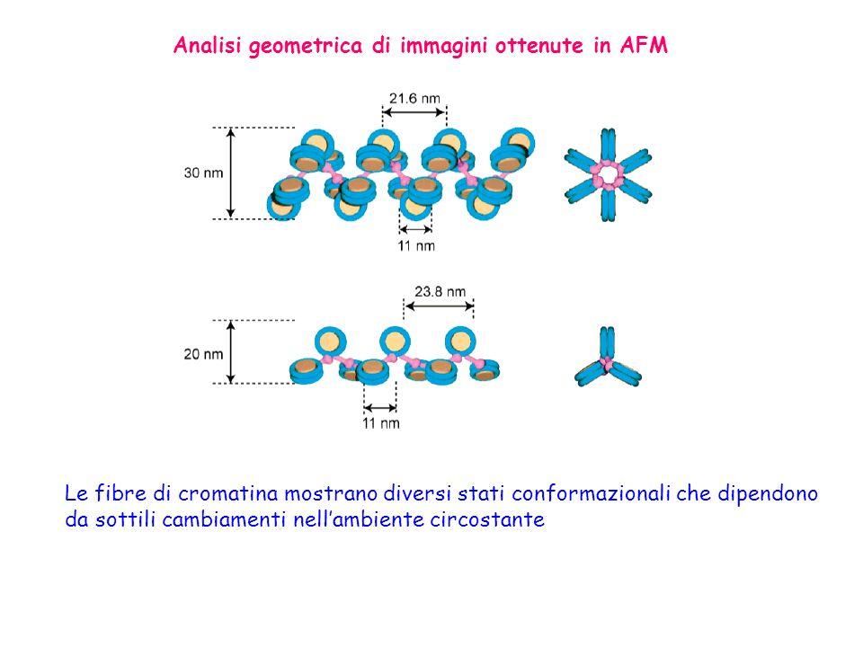 Analisi geometrica di immagini ottenute in AFM Le fibre di cromatina mostrano diversi stati conformazionali che dipendono da sottili cambiamenti nella