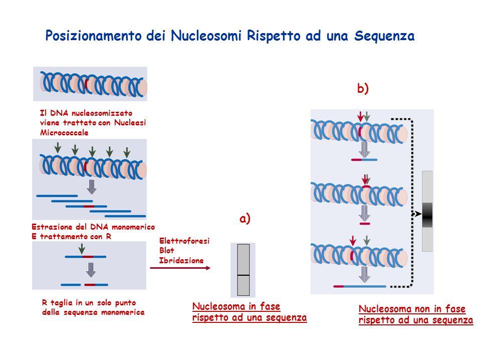 Posizionamento dei Nucleosomi Rispetto ad una Sequenza Il DNA nucleosomizzato viene trattato con Nucleasi Micrococcale Estrazione del DNA monomerico E