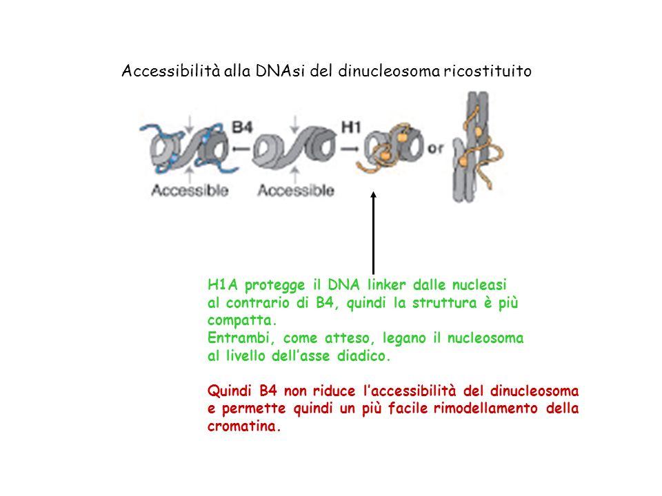 H1A protegge il DNA linker dalle nucleasi al contrario di B4, quindi la struttura è più compatta. Entrambi, come atteso, legano il nucleosoma al livel