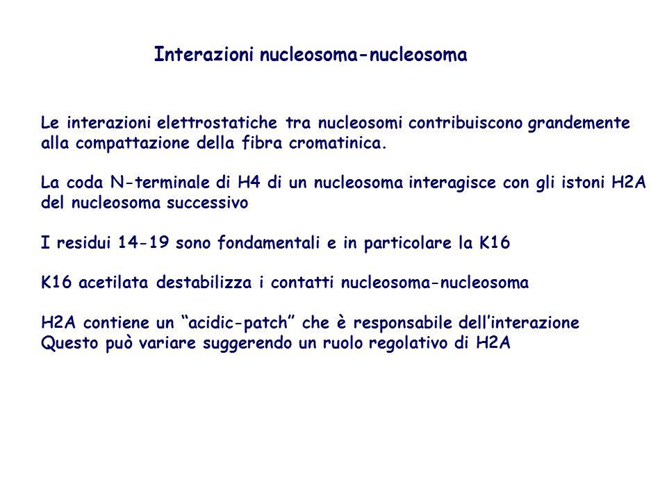 Le interazioni elettrostatiche tra nucleosomi contribuiscono grandemente alla compattazione della fibra cromatinica. La coda N-terminale di H4 di un n