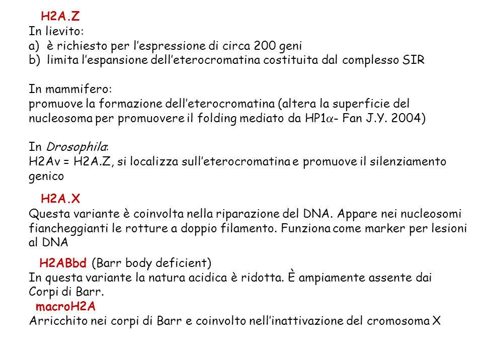 H2A.Z In lievito: a)è richiesto per lespressione di circa 200 geni b)limita lespansione delleterocromatina costituita dal complesso SIR In mammifero: