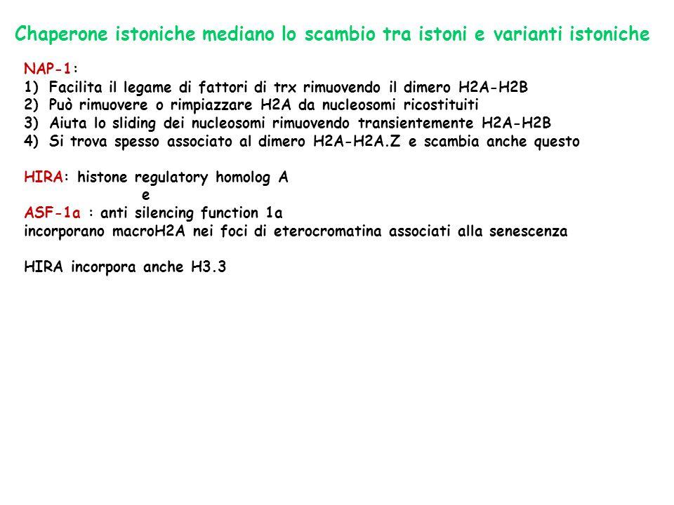 Chaperone istoniche mediano lo scambio tra istoni e varianti istoniche NAP-1: 1)Facilita il legame di fattori di trx rimuovendo il dimero H2A-H2B 2)Pu