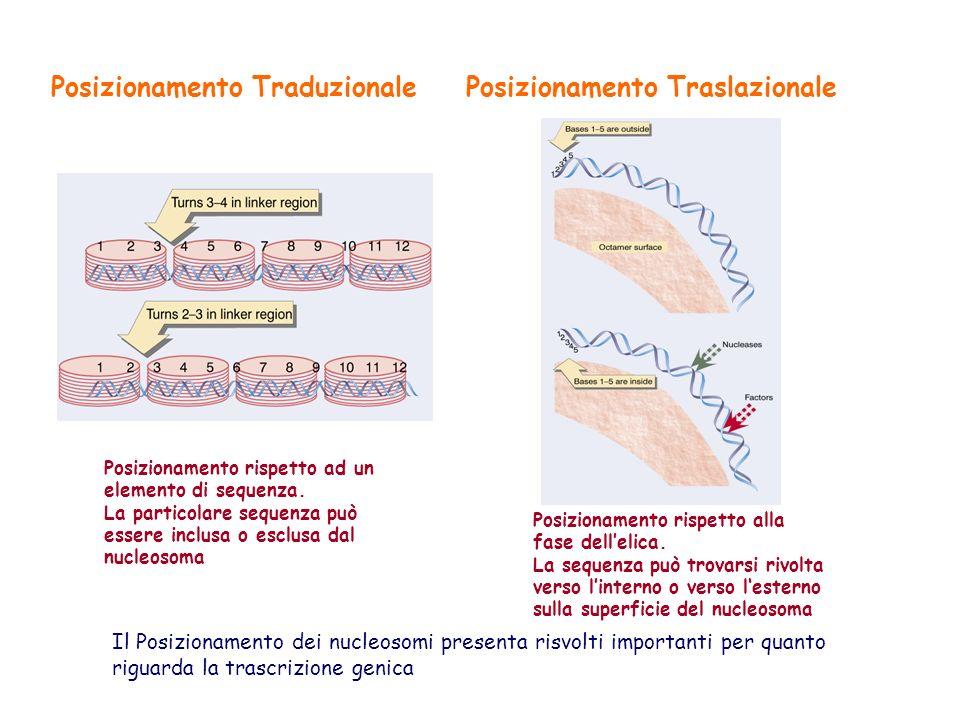 Posizionamento TraduzionalePosizionamento Traslazionale Posizionamento rispetto ad un elemento di sequenza. La particolare sequenza può essere inclusa