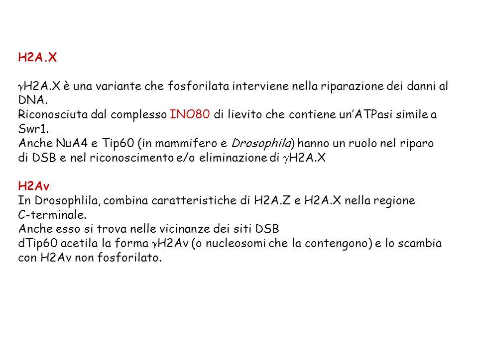 H2A.X H2A.X è una variante che fosforilata interviene nella riparazione dei danni al DNA. Riconosciuta dal complesso INO80 di lievito che contiene unA