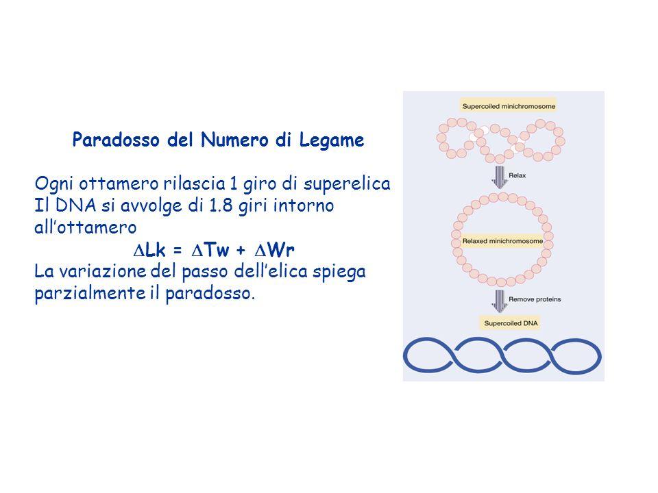 Paradosso del Numero di Legame Ogni ottamero rilascia 1 giro di superelica Il DNA si avvolge di 1.8 giri intorno allottamero Lk = Tw + Wr La variazion