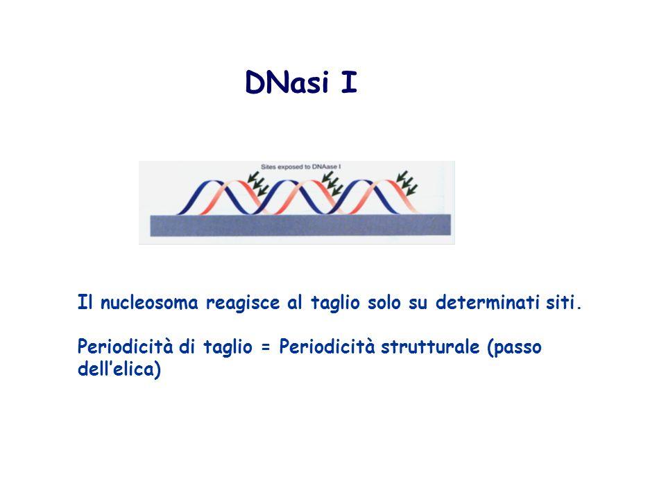 DNasi I Il nucleosoma reagisce al taglio solo su determinati siti. Periodicità di taglio = Periodicità strutturale (passo dellelica)