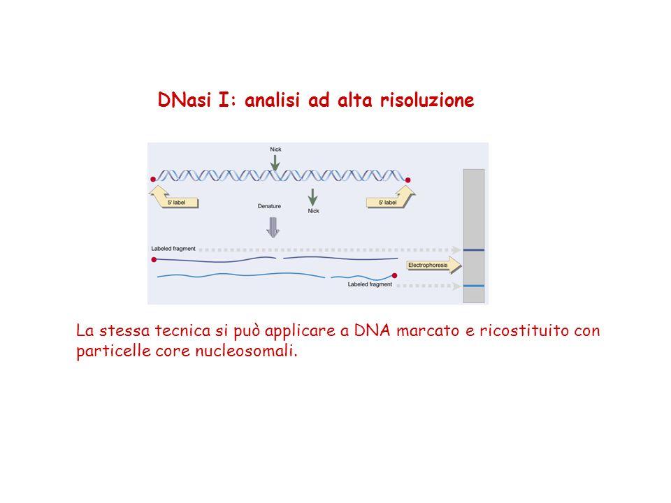 DNasi I: analisi ad alta risoluzione La stessa tecnica si può applicare a DNA marcato e ricostituito con particelle core nucleosomali.