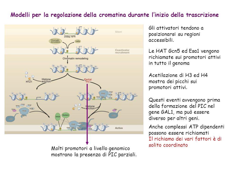 PANORAMA DELLA CROMATINA DURANTE LALLUNGAMENTO TRASCRIZIONALE Al 5 dellORF PAF è caricato sulla forma Pser5 del CTD di PolII Recluta COMPASS (Set1) per la metilazione di H3K4 Mantiene il legame di Rad6/Bre1 per la ubiquitinazione di H2B Recluta FACT per lassemblaggio dei nucleosomi Al 3 dellORF Set2 si lega alla forma Pser2 del CTD di PolII per la trimetilazione di H3K36 TFIIS e RSC contribuiscono a facilitare la trascrizione attraverso i nucleosomi.