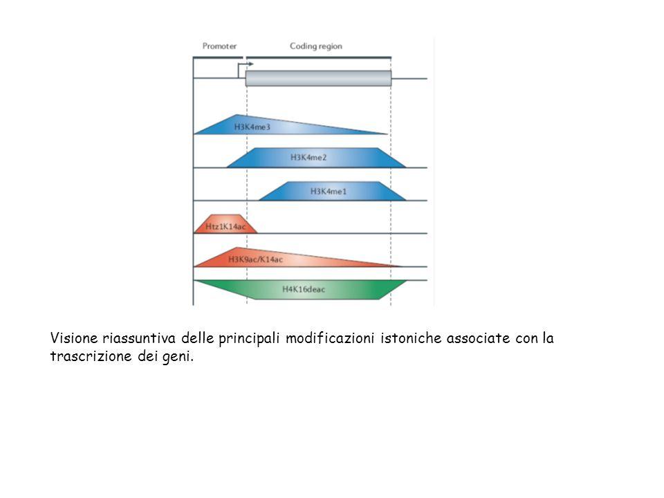 Visione riassuntiva delle principali modificazioni istoniche associate con la trascrizione dei geni.