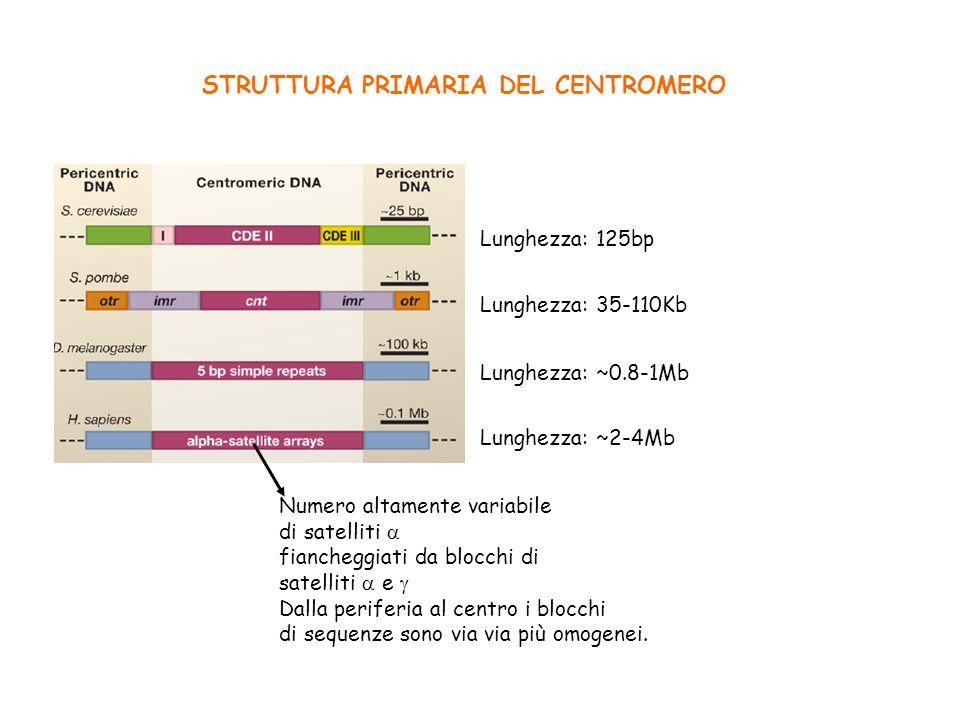 STRUTTURA PRIMARIA DEL CENTROMERO Lunghezza: 35-110Kb Lunghezza: 125bp Lunghezza: ~0.8-1Mb Lunghezza: ~2-4Mb Numero altamente variabile di satelliti f