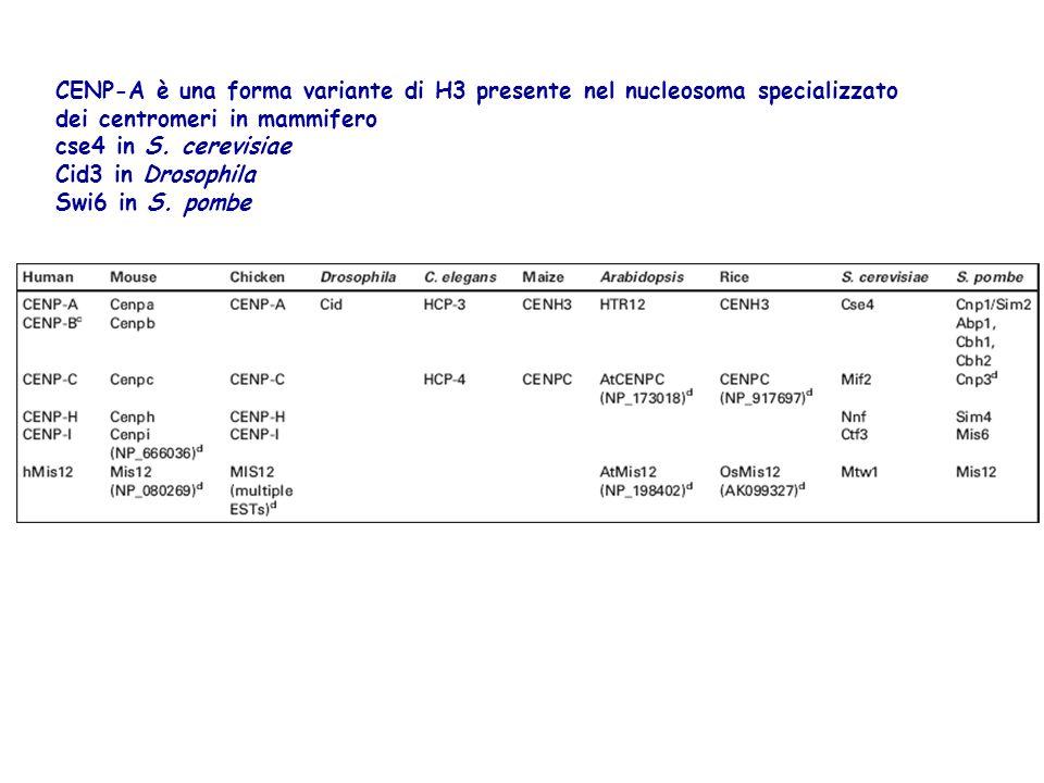 CENP-A è una forma variante di H3 presente nel nucleosoma specializzato dei centromeri in mammifero cse4 in S. cerevisiae Cid3 in Drosophila Swi6 in S
