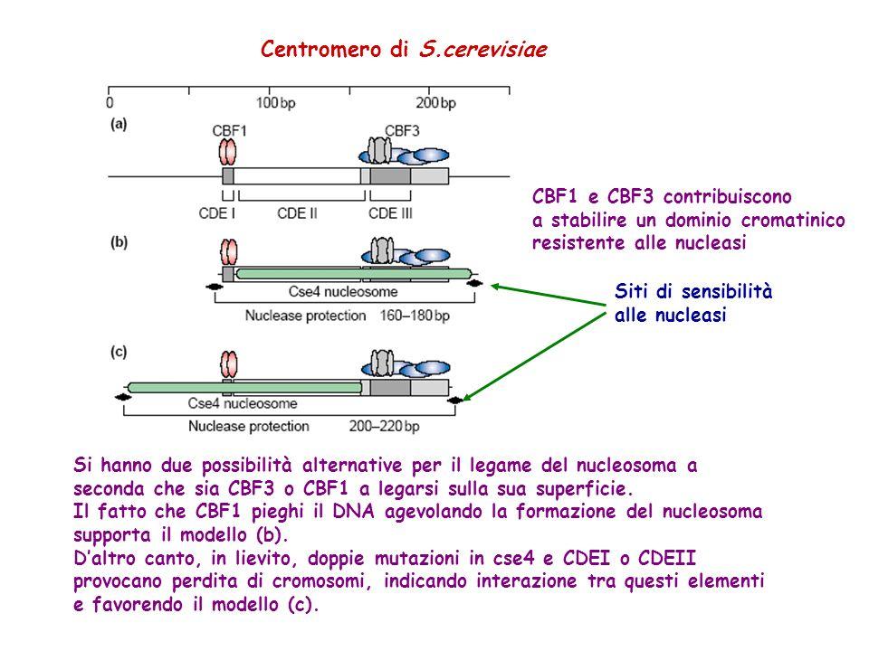 Centromero di S.cerevisiae CBF1 e CBF3 contribuiscono a stabilire un dominio cromatinico resistente alle nucleasi Siti di sensibilità alle nucleasi Si