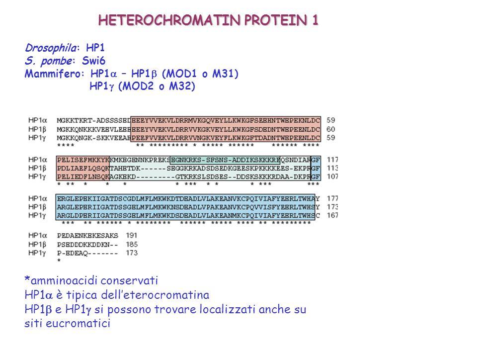 HETEROCHROMATIN PROTEIN 1 Drosophila: HP1 S. pombe: Swi6 Mammifero: HP1 – HP1 (MOD1 o M31) HP1 (MOD2 o M32) *amminoacidi conservati HP1 è tipica delle