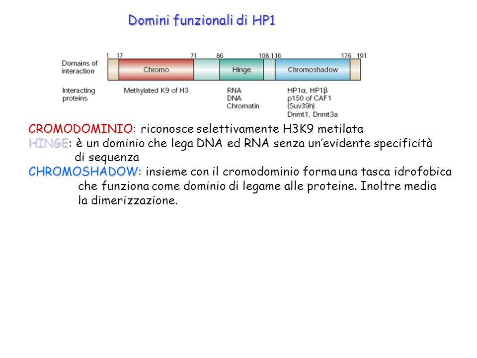 CROMODOMINIO CROMODOMINIO: riconosce selettivamente H3K9 metilata HINGE HINGE: è un dominio che lega DNA ed RNA senza unevidente specificità di sequen