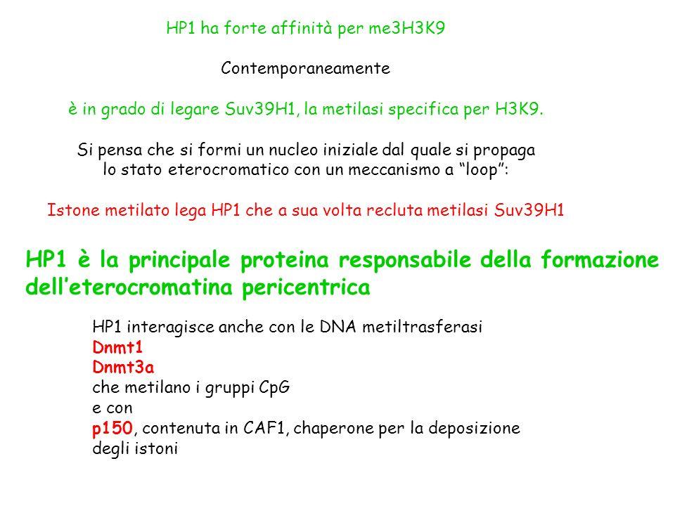 HP1 ha forte affinità per me3H3K9 Contemporaneamente è in grado di legare Suv39H1, la metilasi specifica per H3K9. Si pensa che si formi un nucleo ini