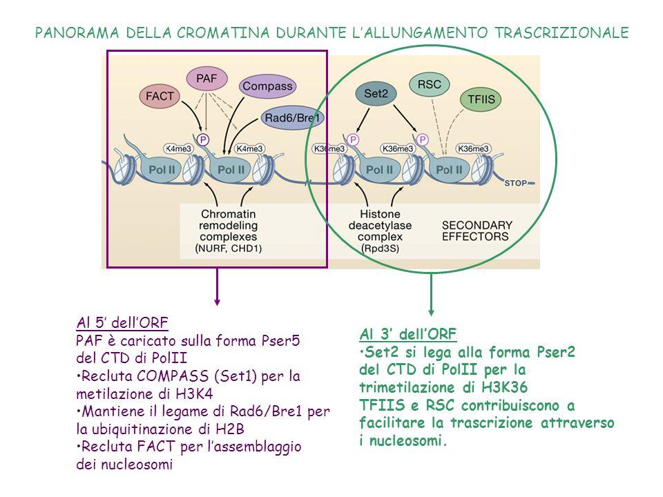 Gradiente delle modificazioni istoniche su geni attivi: H3K4 * H3K4me2, H3K4me3, H2BUb1 sono il segnale critico per definire un dominio in trascrizione e la frequenza di passaggio della Polimerasi.