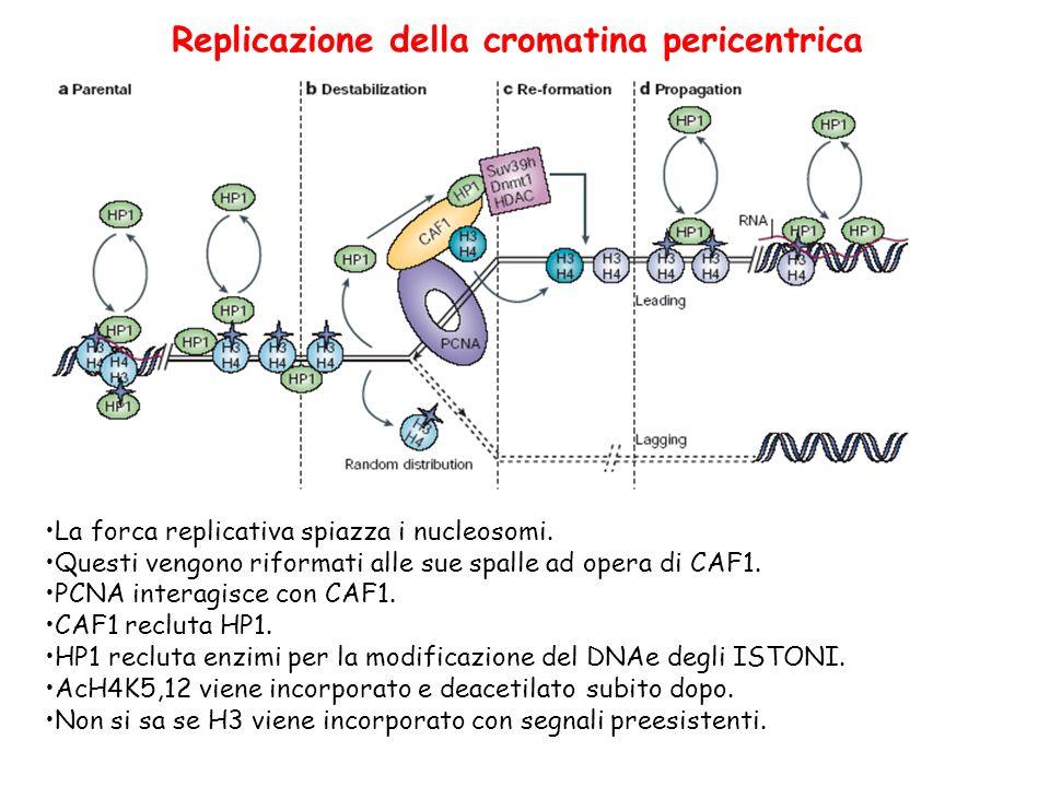 Replicazione della cromatina pericentrica La forca replicativa spiazza i nucleosomi. Questi vengono riformati alle sue spalle ad opera di CAF1. PCNA i