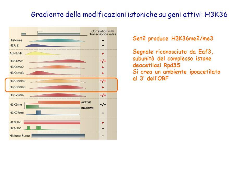Gradiente delle modificazioni istoniche su geni attivi: H3K36 Set2 produce H3K36me2/me3 Segnale riconosciuto da Eaf3, subunità del complesso istone de