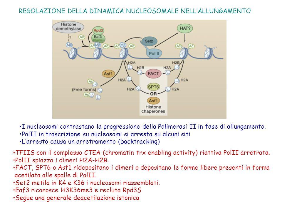 REGOLAZIONE DELLA DINAMICA NUCLEOSOMALE NELLALLUNGAMENTO I nucleosomi contrastano la progressione della Polimerasi II in fase di allungamento. PolII i