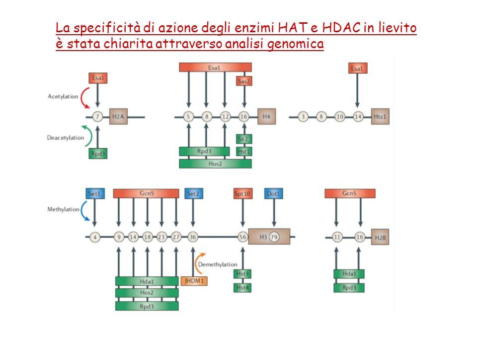 La specificità di azione degli enzimi HAT e HDAC in lievito è stata chiarita attraverso analisi genomica