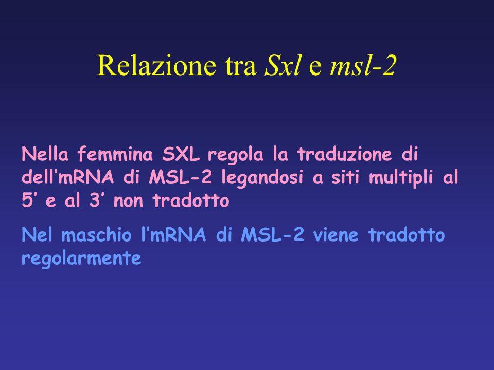 Nella femmina SXL regola la traduzione di dellmRNA di MSL-2 legandosi a siti multipli al 5 e al 3 non tradotto Nel maschio lmRNA di MSL-2 viene tradot